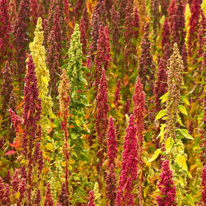 Quinoa Brightest Brilliant - (Chenopodium Quinoa) - Ossi Seeds