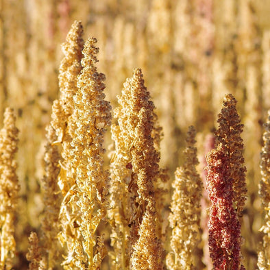 Quinoa Common Mix - (Chenopodium Quinoa) Seeds