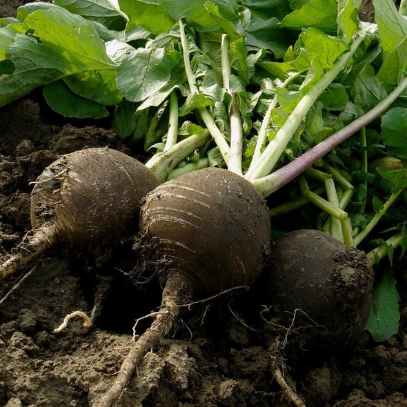 Radish Black Spanish Round - (Raphanus Sativus) Seeds