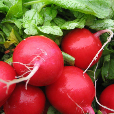 Radish 'Early Scarlet Globe' - (Raphanus sativus)
