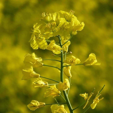 Rapeseed Trophy Winter - (Brassica Napus) Seeds