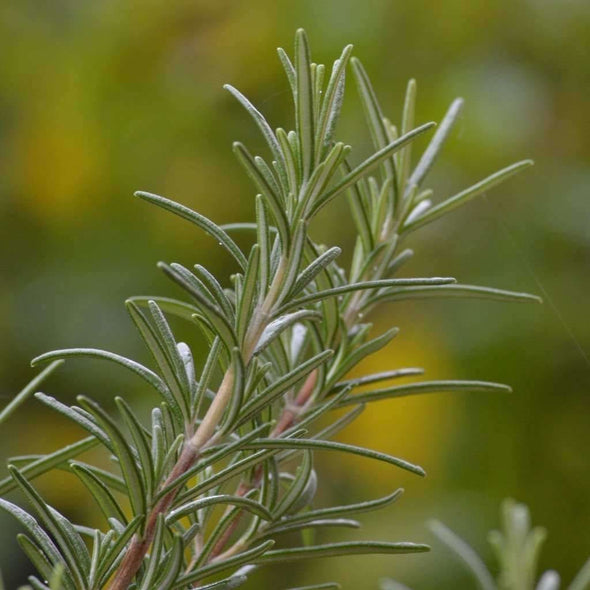 Rosemary - (Rosmarinus Officinalis) Seeds