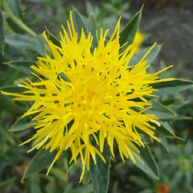 Safflower Yellow - (Carthamus Tinctorius) Seeds