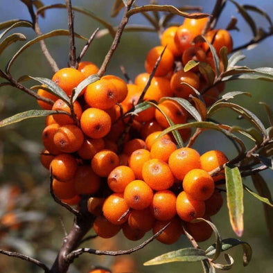 Sea Berry - (Hippophae Rhamnoides) Seeds