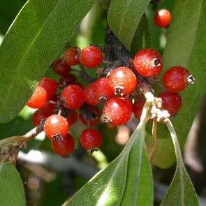 Silver Buffaloberry - (Shepherdia Argentea) Seeds