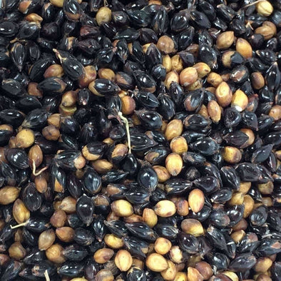 Sorghum (Broom Corn) Texas Black - (Sorghum Bicolor) Seeds