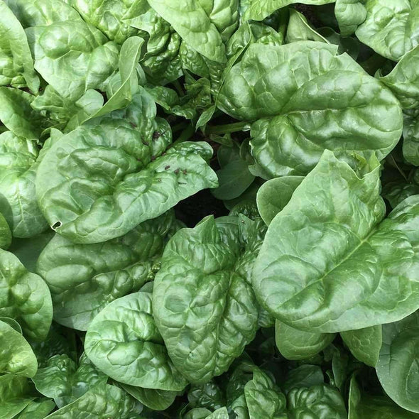 Spinach Bloomsdale - (Spinacia Oleracea) Seeds