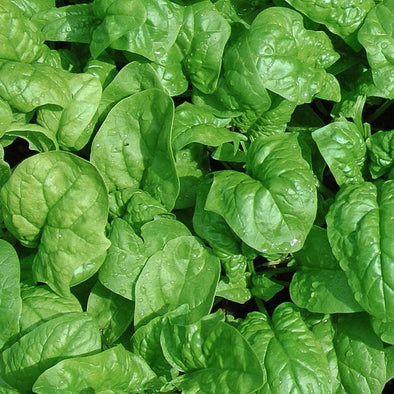 Spinach Butterflay - (Spinacia Oleracea) Seeds