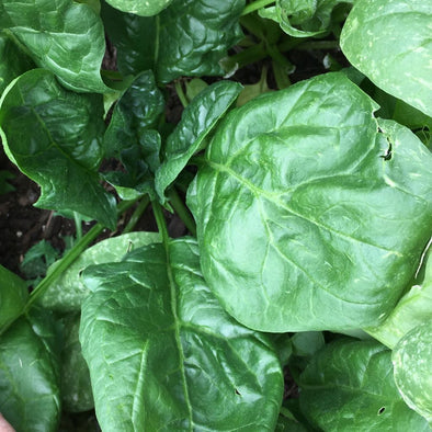 Spinach 'Giant Noble' - (Spinacia oleracea)