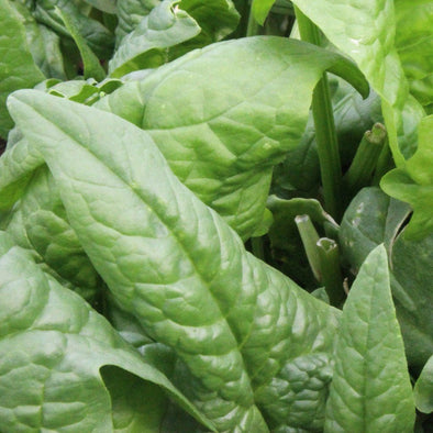 Spinach Giant Winter - (Spinacia Oleracea) Seeds