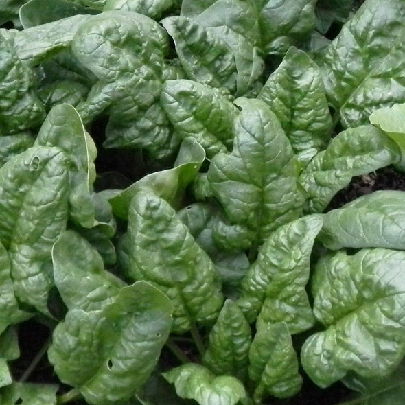 Spinach Winter Bloomsdale - (Spinacia Oleracea) Seeds