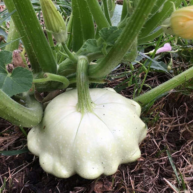 Squash (Summer) Bennings Green Tint Scallop - (Cucurbita Pepo) Seeds