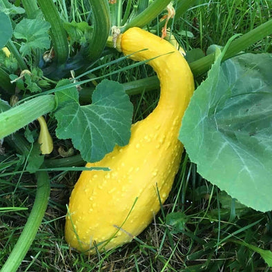 Squash (Summer) Early Summer Crookneck - (Cucurbita Pepo) Seeds