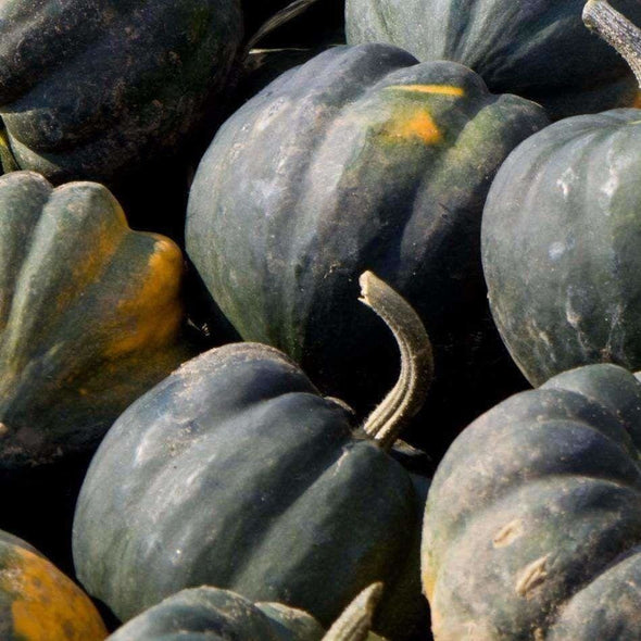 Squash (Winter) Table Queen Acorn - (Cucurbita Pepo Turbinata) Seeds