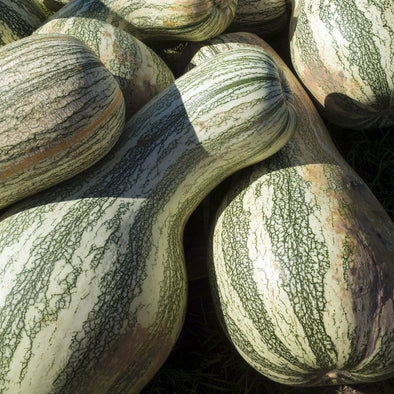 Squash (Winter/pumpkin) Cushaw Green Striped - (Cucurbita Mixta) Seeds