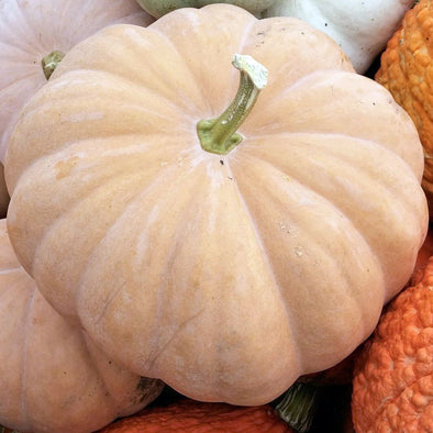 Squash (winter/pumpkin) 'Long Island Cheese' - (Cucurbita moschata) seeds - amkha-seed.myshopify.com