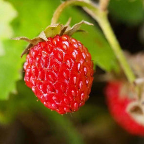 Strawberry (Alpine) - Baron Solemacher - (Fragaria Vesca) Seeds