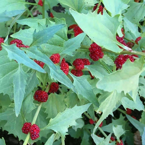 Strawberry Goosefoot - (Chenopodium Foliosum) Seeds