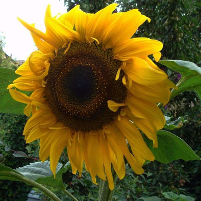 Sunflower Black Russian - (Helianthus Annuus) Seeds