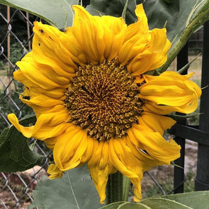 Sunflower Mammoth Grey Stripe - (Helianthus Annuus) Seeds