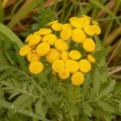 Tansy Common - (Tanacetum Vulgare) Seeds