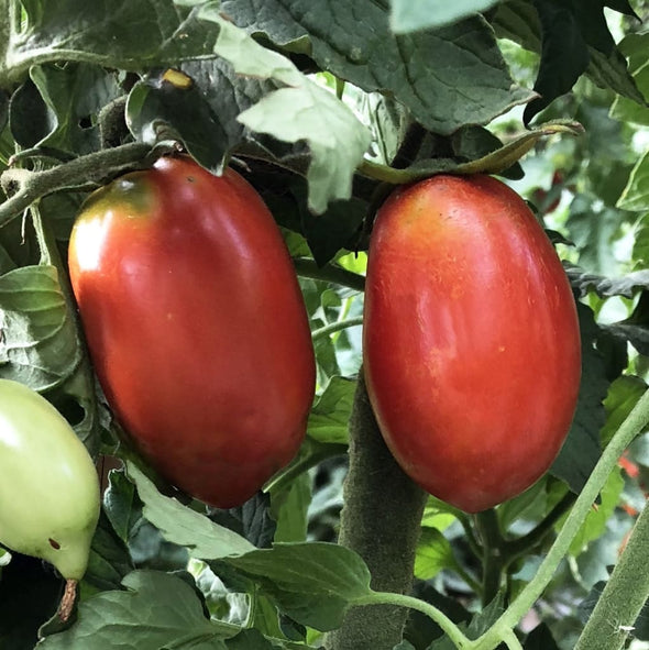 Tomato Amish Paste - (Solanum Lycopersicum) Seeds