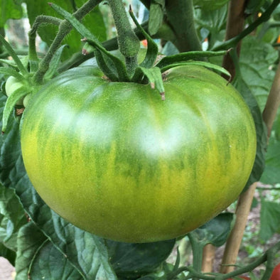 Tomato Aunt Ruby German Green - (Solanum Lycopersicum) Seeds
