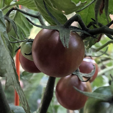 Tomato Black Cherry - (Solanum Lycopersicum) Seeds