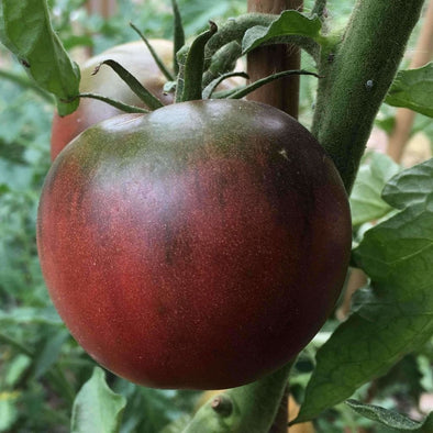 Tomato Black From Tula - (Solanum Lycopersicum) Seeds