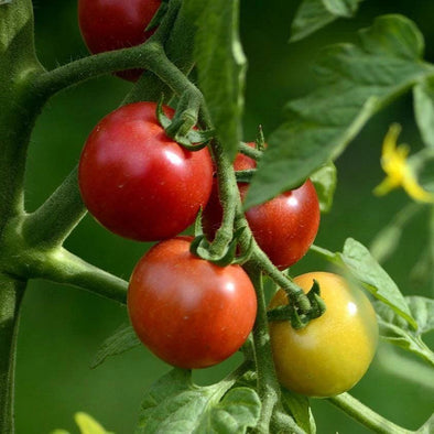 Tomato Early Cascade - (Solanum Lycopersicum) Seeds