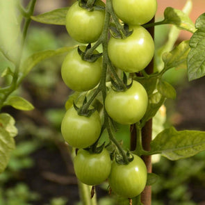 Tomato 'Green Grape' - (Solanum lycopersicum) seeds - amkha-seed.myshopify.com