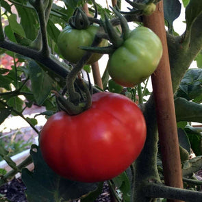 Tomato Homestead - (Solanum Lycopersicum) Seeds