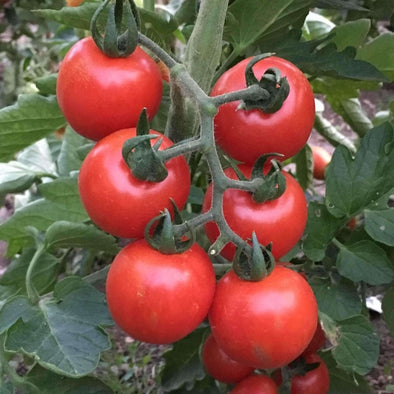 Tomato Large Red Cherry - (Solanum Lycopersicum) Seeds