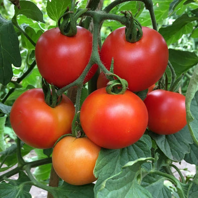 Tomato Moneymaker - (Solanum Lycopersicum) Seeds