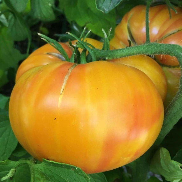 Tomato Old German - (Solanum Lycopersicum) Seeds