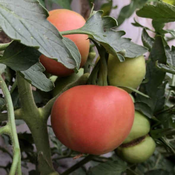 Tomato Peach Blow Sutton - (Solanum Lycopersicum) Seeds