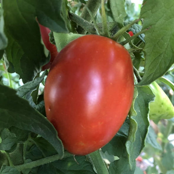 Tomato Polish Paste - (Solanum Lycopersicum) Seeds