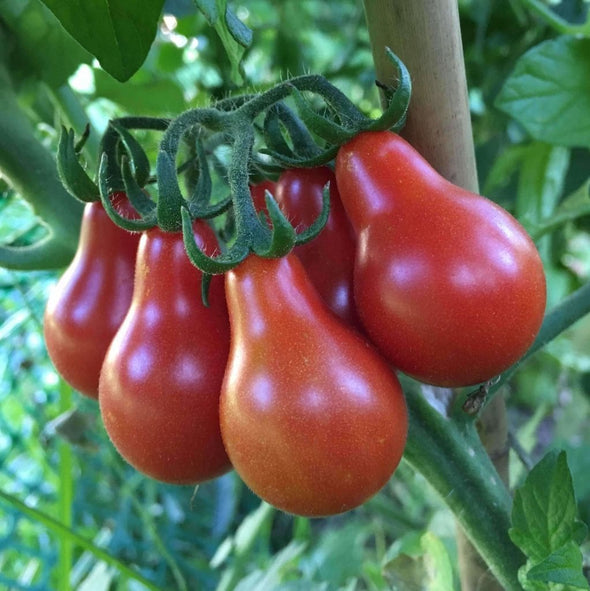 Tomato Red Pear - (Solanum Lycopersicum) Seeds