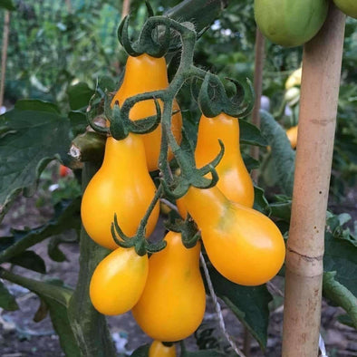 Tomato Yellow Pear - (Solanum Lycopersicum) Seeds