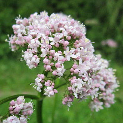 Valerian - (Valeriana Officinalis) Seeds