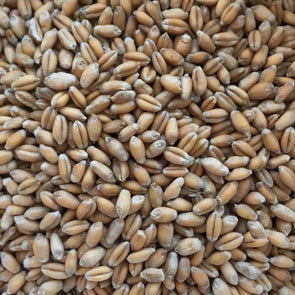 Wheat Glenn (Hard Red) - (Triticum Aestivum) Seeds