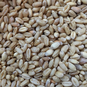 Wheat (Winter) Bolero - (Triticum Aestivum) Seeds