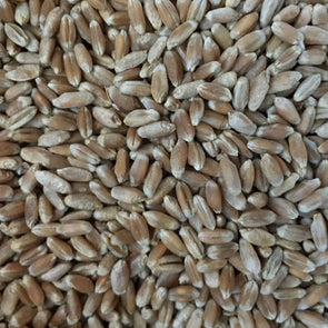 Wheat (Winter) Turkey Red - (Triticum Aestivum) Seeds