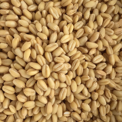 Wheat (Winter) White Sonora - (Triticum Aestivum) Seeds