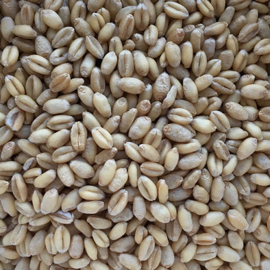 Wheat (Winter) Yamhill - (Triticum Aestivum) Seeds