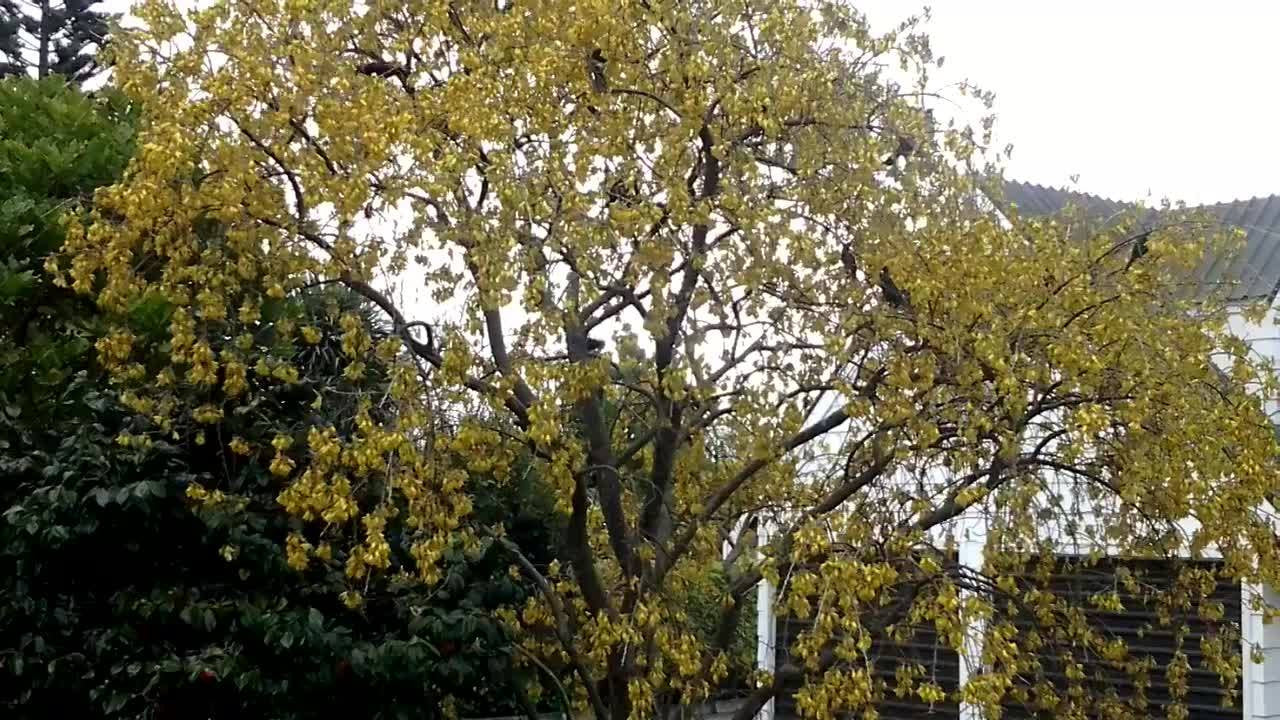 Tuis in the kowhai tree (for magpie.kiwi)