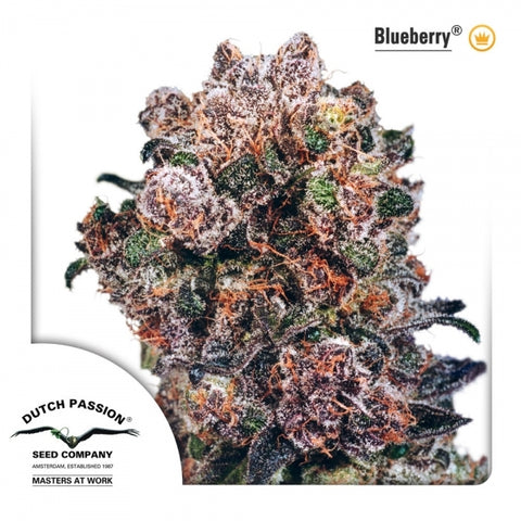 Blueberry® Feminised - Gói 3 hạt