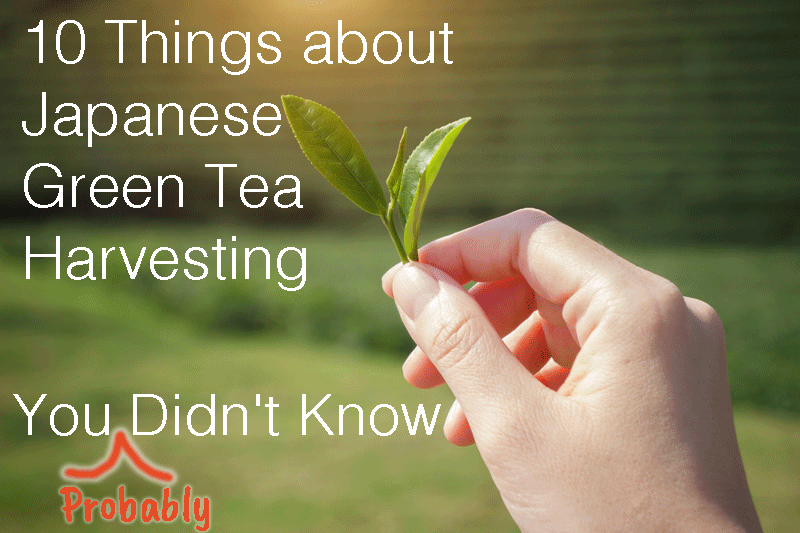10 Things about Japanese Green Tea Harvesting You (Probably) Didn't Know