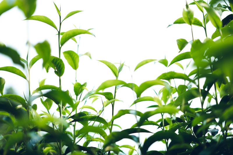 You can grow green tea in your yard