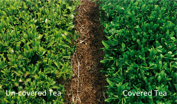 Covered Tea vs Uncovered Tea